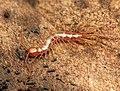 Stone Centipede (32614329307).jpg