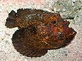 Stone Fish at AQWA SMC2006.jpg