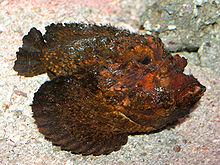 Stone Fish at AQWA SMC2006.jpg