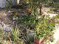 Strelitzia reginae from Kedumim 116.jpg