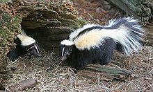 Two black and white striped skunks