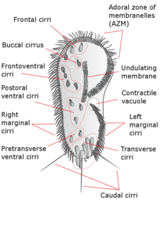 Blepharisma Diagram