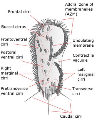 Stylonychia - Stylonychia mytilus, with cirri labeled