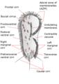 Stylonychia mytilus.png