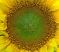 SunFlower Closeup Hungary.jpg