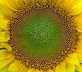 SunFlower Closeup Hungary.jpg