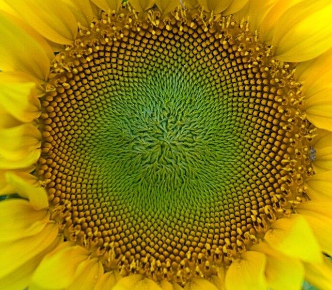 चित्र:SunFlower Closeup Hungary.jpg
