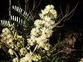 Sunshine wattle flower (3517047053).jpg