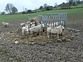 Supplementary feeding - geograph.org.uk - 624373.jpg