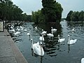 Swans on the river at Windsor - geograph.org.uk - 39316.jpg