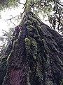Sylvia (tree) in January 2019 03.jpg