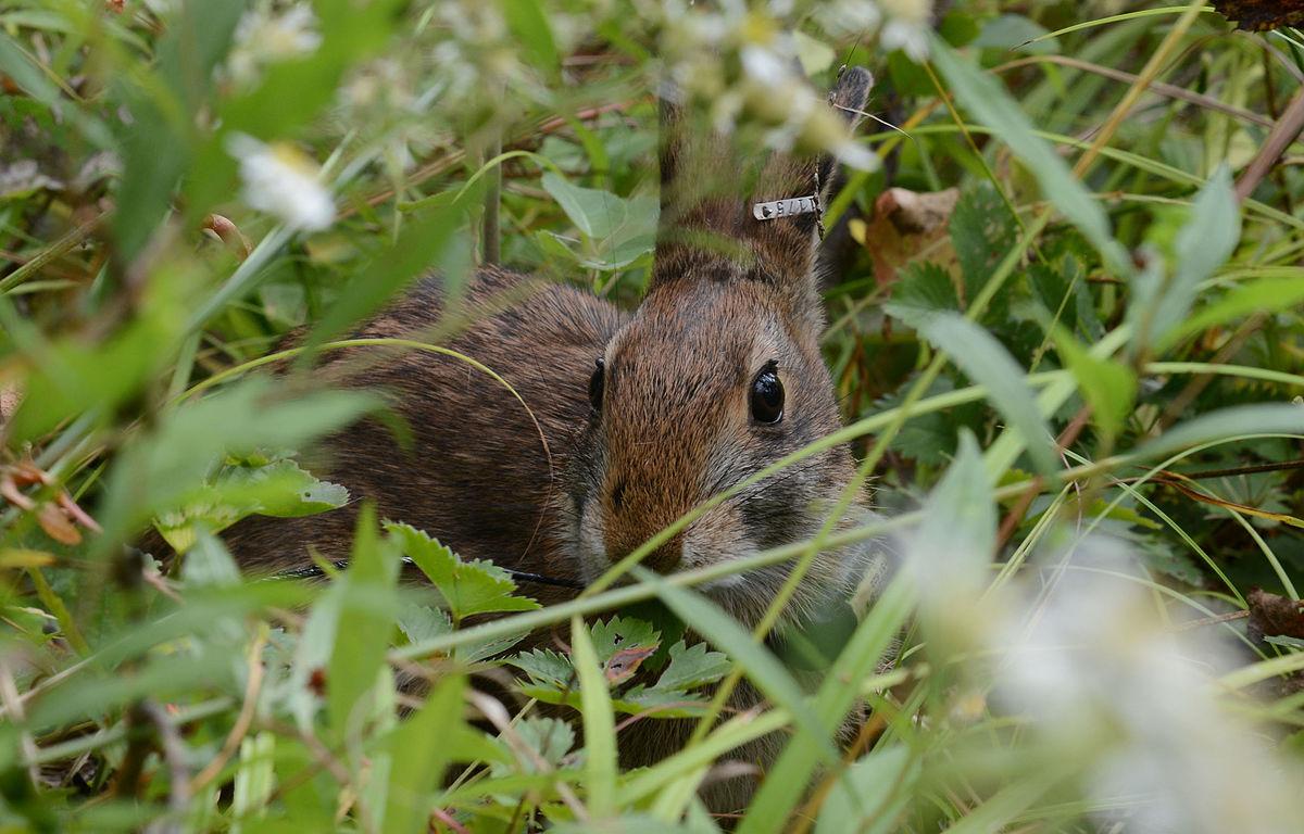 Cottontail rabbit habitat - photo#55