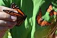 Tagging Monarch Butterflies (20553867799).jpg