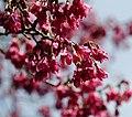 Taiwan cherry tree (7125537957).jpg