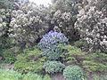 Tajinaste de La Gomera - panoramio.jpg