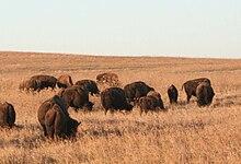 Una popolazione di bisonti americani