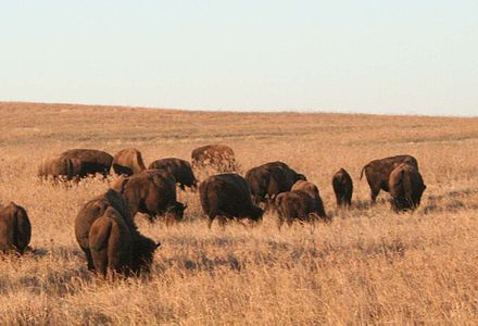 Bison grazing on the 158 km (39,000-acre) Tallgrass Prairie Nature Preserve in Osage County, Oklahoma Tallgrass Prairie Nature Preserve in Osage County.jpg