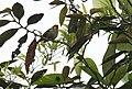 Tangara parzudakii -NW Ecuador-6.jpg