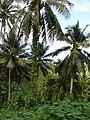 Taveuni, Fiji, abandoned copra plantation.jpg