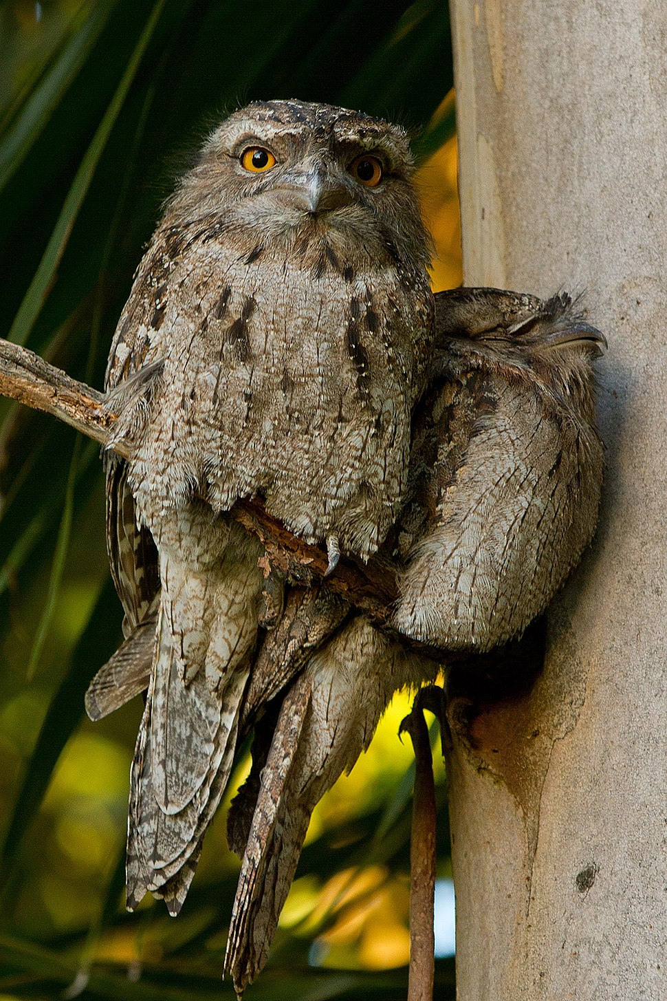 Tawny Frogmouth (Podargus strigoides) 2