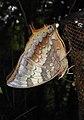 Tawny Rajah Charaxes bernardus Male UN by Dr. Raju Kasambe DSCN1769 (7).jpg