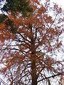 Taxodium Sukhumi.jpg