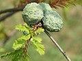 Taxodium distichum - Močvarni čepres (114).jpg