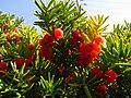Taxus cuspidata IMG 4635.jpg