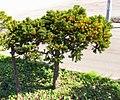 Taxus cuspidata IMG 4640.jpg