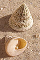 Tectus fenestratus shell.jpg