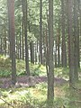 Tentsmuir Forest - geograph.org.uk - 1454350.jpg