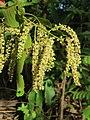 Terminalia elliptica - Indian Laurel flowers at Nedumpoil (13).jpg