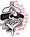 Testudines anatomy.png