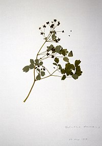Thalictrum dioicum BW-1979-0529-0592.jpg