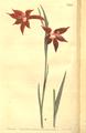 The Botanical Magazine, Plate 450 (Volume 13, 1799).png