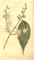 The Botanical Magazine, Plate 466 (Volume 13, 1799).png