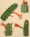 The Cactaceae - descriptions and illustrations of plants of the cactus family (1919) (14783261155).jpg