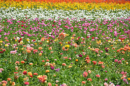 The flower fields wikipedia a field of flowers ranging in colors of purple pink yellow white mightylinksfo