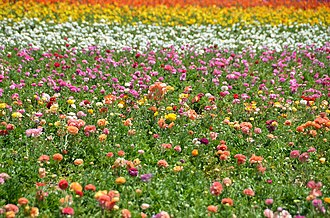 The Flower Fields - A picture of a field of colorful flowers found at The Flower Fields