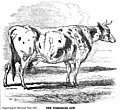 The Yorkshire Cow engraving by Harrison Weir 1850.jpg