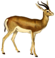 The book of antelopes (1894) Gazella isabella (white background).png