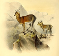 The book of antelopes (1894) Oreotragus saltator.png
