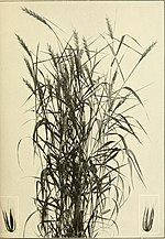 The book of grasses - an illustrated guide to the common grasses, and the most common of the rushes and sedges (1912) (14577001450).jpg