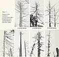 The deterioration of beetle-killed Douglas-fir in western Oregon and Washington (1967) (20573700695).jpg