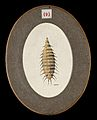 The larva of the lesser house fly Fannia canicularis. Colour Wellcome V0022576EL.jpg