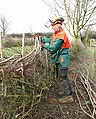 The laying of a traditional hedge (6a) - geograph.org.uk - 1750502.jpg