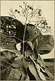 The ornamental trees of Hawaii (1917) (14579350629).jpg