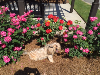 Thomasville, Georgia - Thomasville Rose Garden May 2016