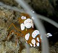 Thor amboinensis - Popcorn Shrimp.jpg