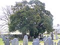 Three yews at St John's Church, Ysbyty Ifan - geograph.org.uk - 1170459.jpg